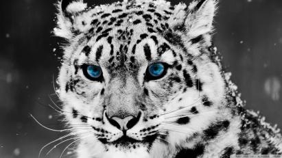 Black-White-Tiger-Wallpaper-Pictures